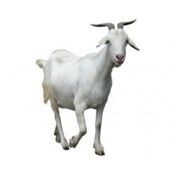 Vuohen Liha 1kg (Fresh Goat...